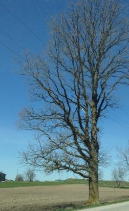 Spirit Tree Dawning Reference